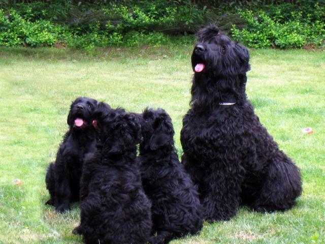 Продаю: Питомник продает щенков Русского черного терьера