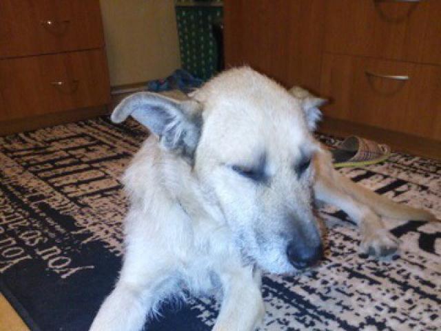 Отдам в дар: Ищет дом метис терьера, очень спокойный пес