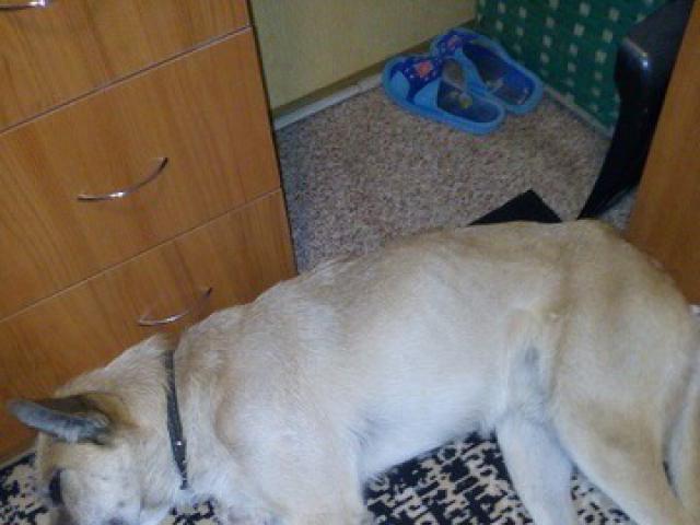 Отдам в дар: Ищет дом метис терьера, очень спокойный пес фото2