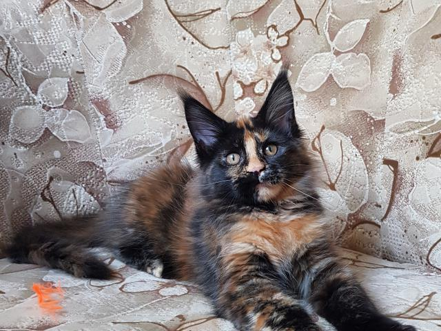 Продаю: котенок мейн кун