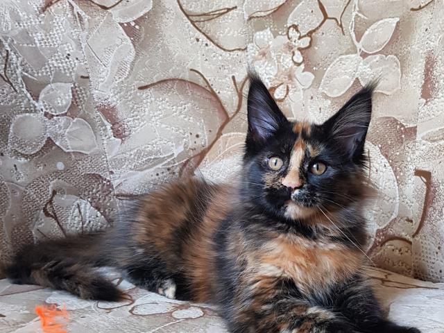 Продаю: котенок мейн кун фото2