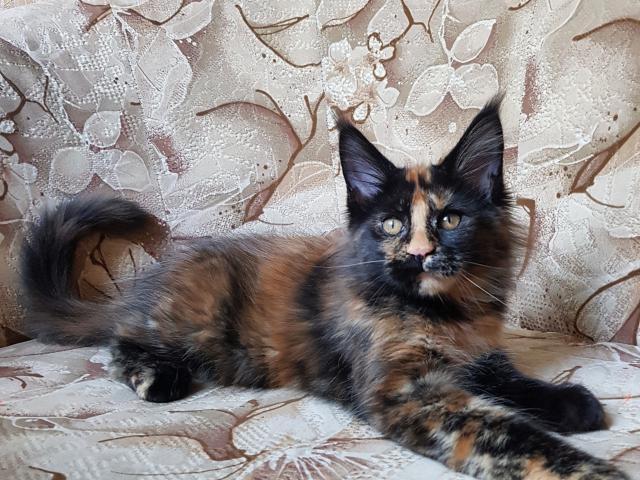 Продаю: котенок мейн кун фото3