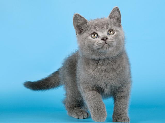 Продаю: Настоящие британские котята, окрас голубой