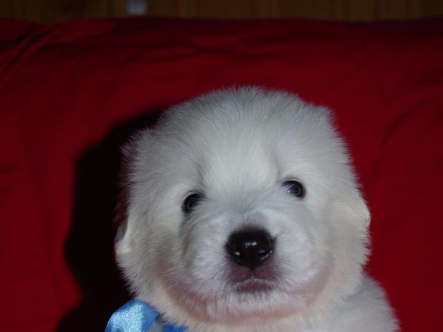 Продаю: Элитные щенки маремма-абруцкой овчарки фото2
