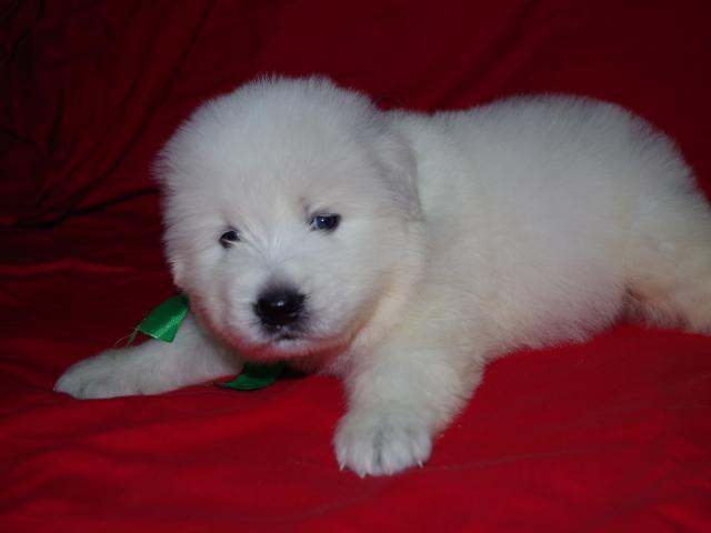 Продаю: Элитные щенки маремма-абруцкой овчарки фото3