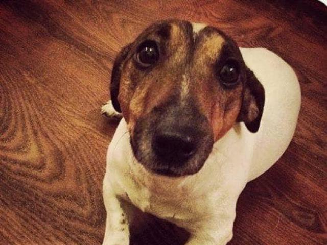 Потерялся/Нашелся: Пропала собака Джек-рассел терьер Кличка Вальтер
