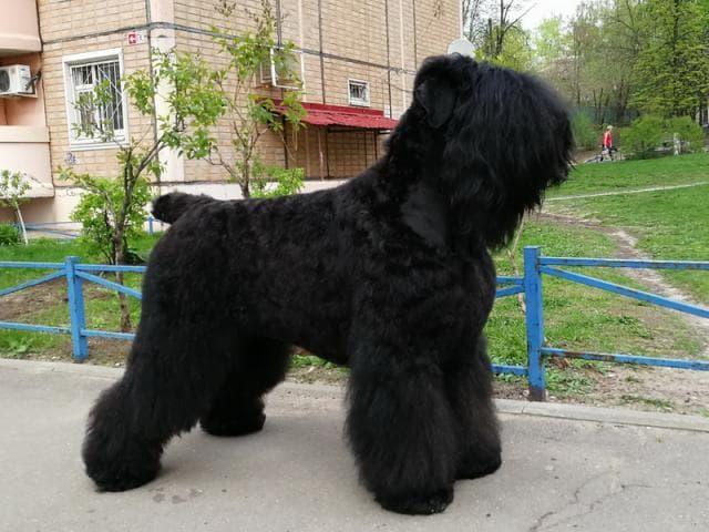 Продаю: Русский черный терьер щенки