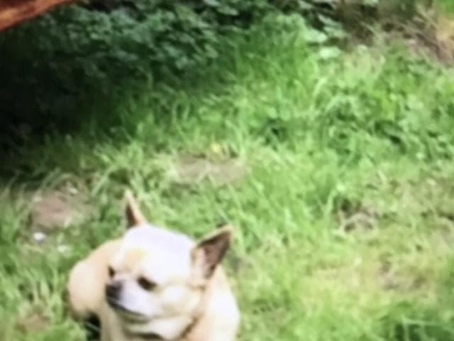 Потерялся/Нашелся: потерялась собака породы чихуахуа