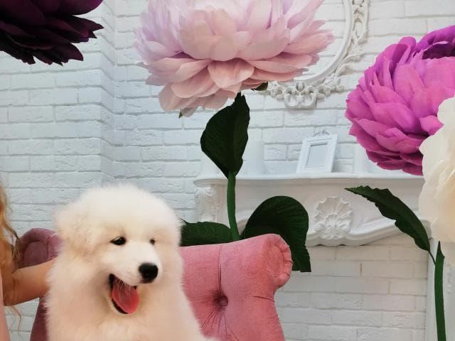 Продаю: Щенки Самоедской Собаки  фото2