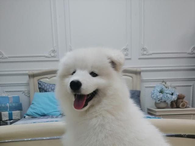 Продаю: Щенки Самоедской Собаки  фото3