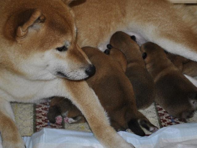 Продаю: Красивые щенки Сиба-ину, Шиба