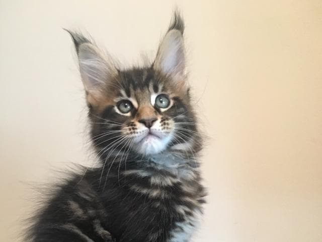 Продаю: Котята мейн-кун фото2