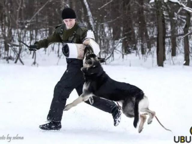 Продаю: Шикарные крупные щенки ВЕО от Чемпионов  фото2