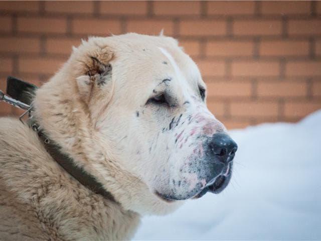 Отдам в дар: Ручной белый медведь Тайсон фото3