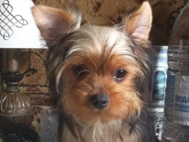 Продаю: Йоркширского терьера щенки
