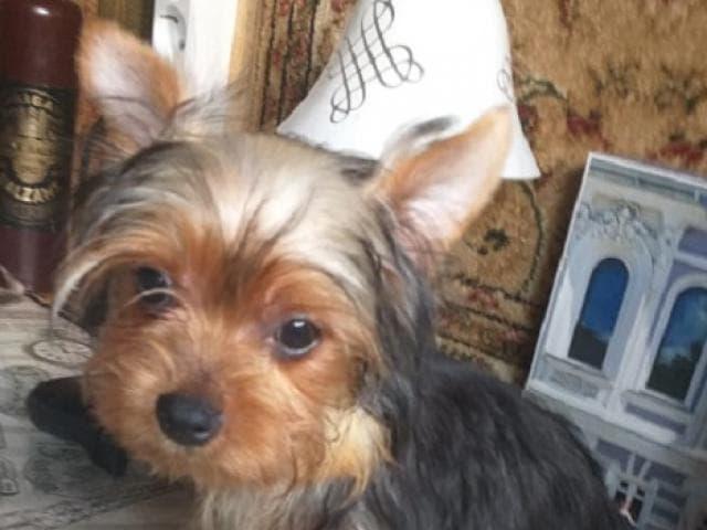 Продаю: Йоркширского терьера щенки фото2