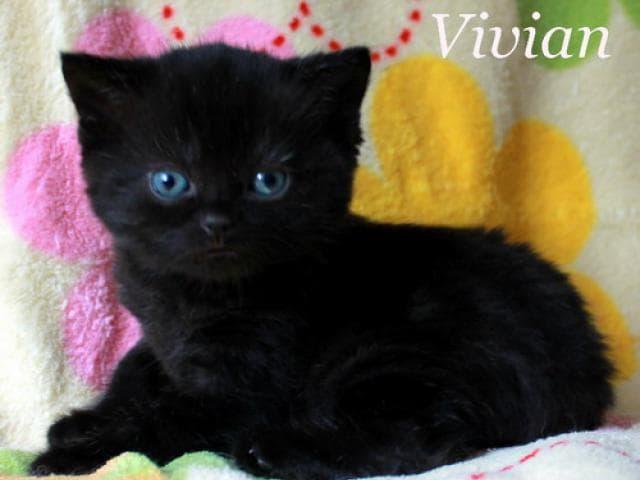 Продаю: Британские черные котята из питомника