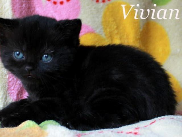 Продаю: Британские черные котята из питомника фото2
