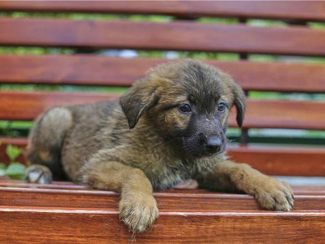Отдам в дар: Чудесные щенки Оша и Дени ищут дом фото2