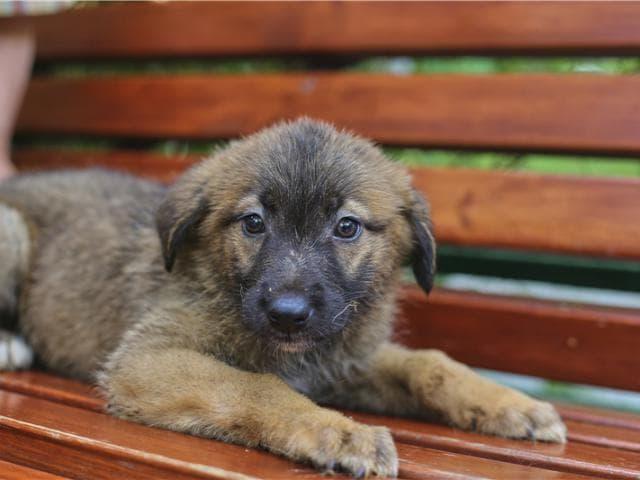Отдам в дар: Чудесные щенки Оша и Дени ищут дом фото3
