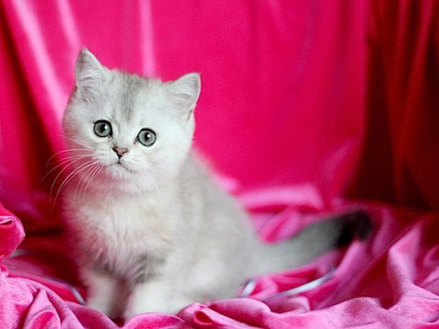 Продаю: Шотландские котята из проф питомника