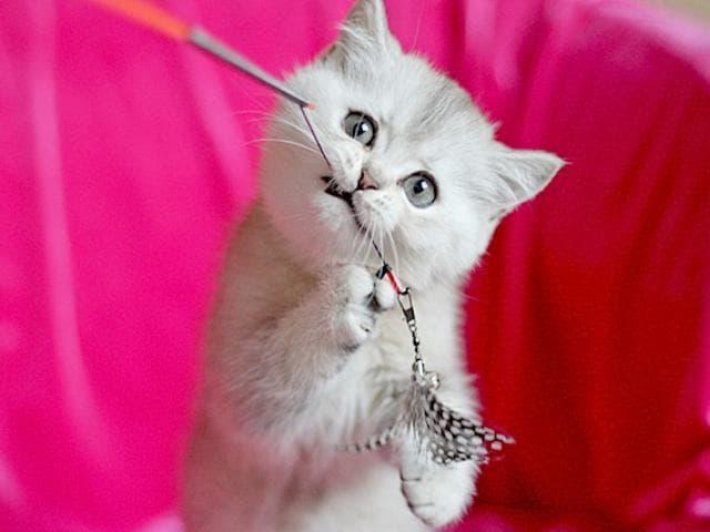 Продаю: Шотландские котята из проф питомника фото2