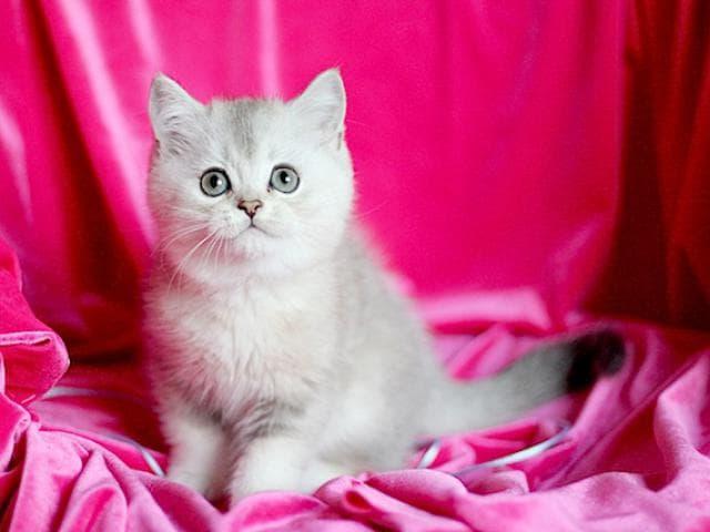 Продаю: Шотландские котята из проф питомника фото3