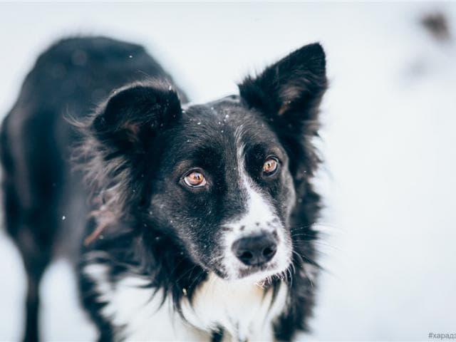 Отдам в дар: Красивая собака Рокси в добрые руки фото2