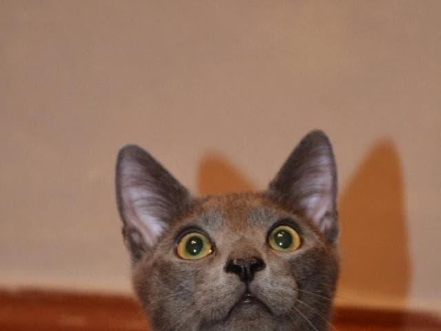 Отдам в дар: Молодой котик Фёрби в самые добрые руки фото2