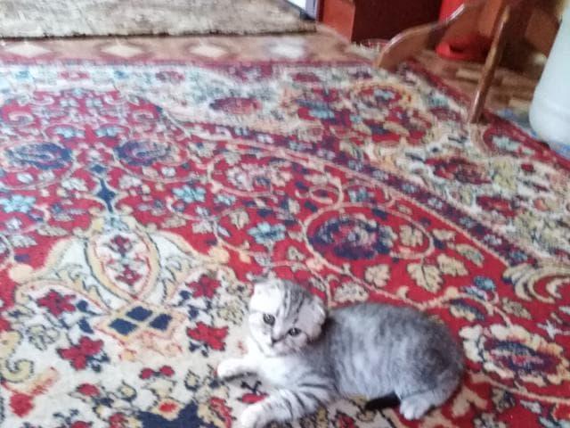 Продаю: Котята красавец и красавица фото2