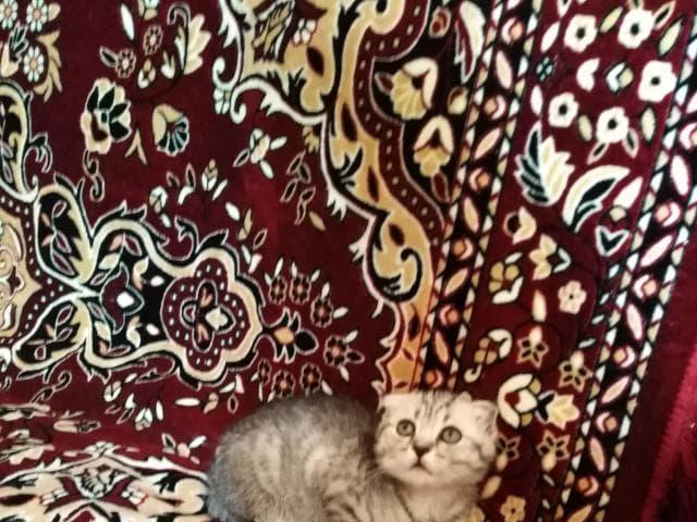 Продаю: Котята красавец и красавица фото3