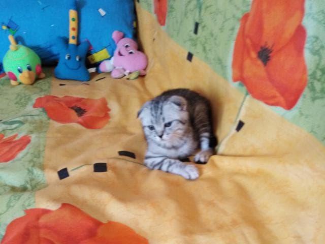 Продаю: Шотландский мачо