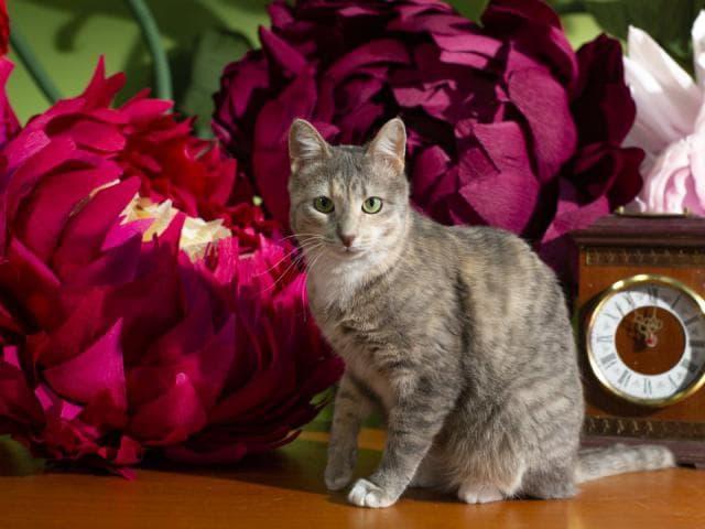 Отдам в дар: Кошка Джулия ищет дом