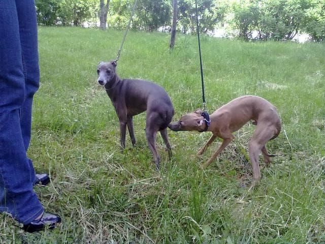 Предлагаю услуги: Инструктор по вязкам собак фото2
