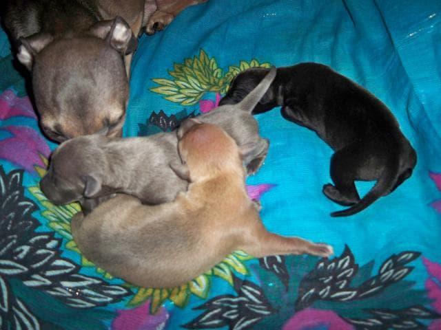 Предлагаю услуги: Инструктор по вязкам собак фото3