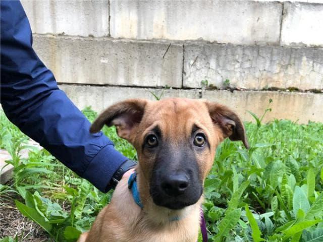 Отдам в дар: Чудесный щенок Бонд ищет дом