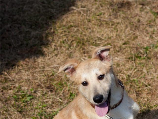 Отдам в дар: Отдам в дар щенка метиса кремового окраса в добрые фото3