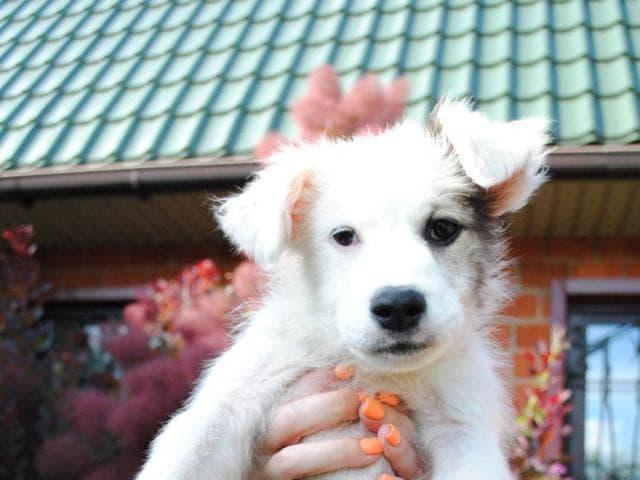 Отдам в дар: Милейшие щенята ищут дом фото3