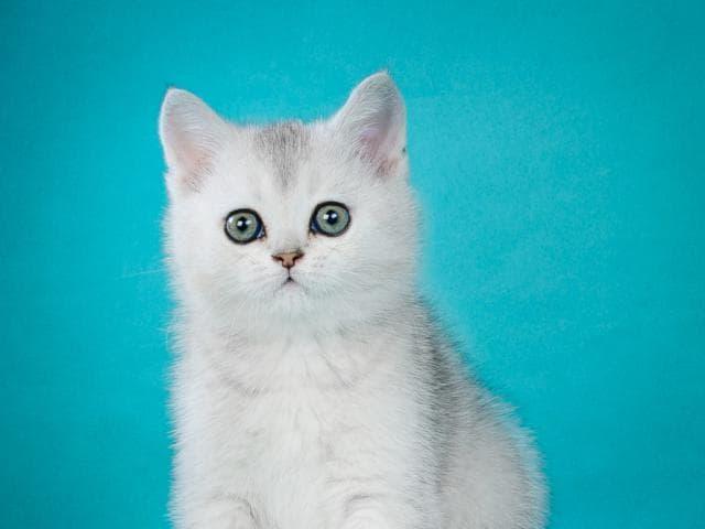 Продаю: Британские котята- красивый подарок