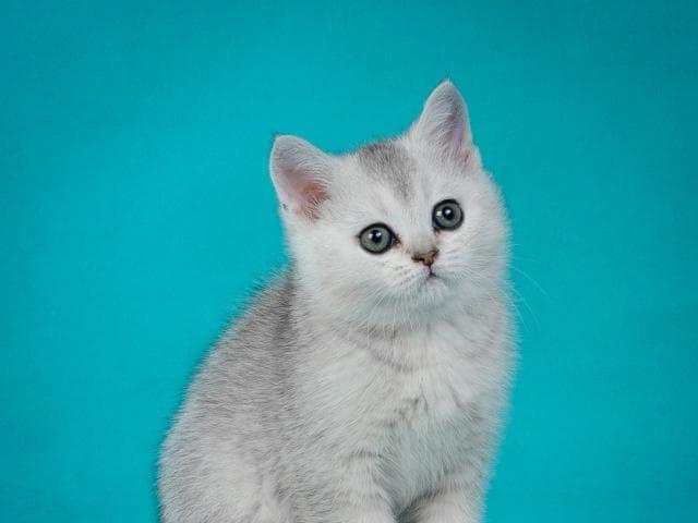 Продаю: Британские котята- красивый подарок фото2