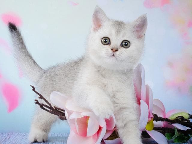 Продаю: Британские котята- красивый подарок фото3