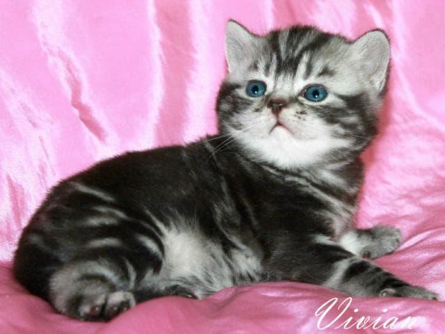 Продаю: Британские котята вискас из питомника фото3