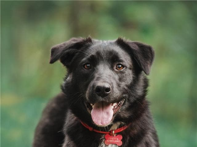 Отдам в дар: Чудесная собака Гретта в добрые руки