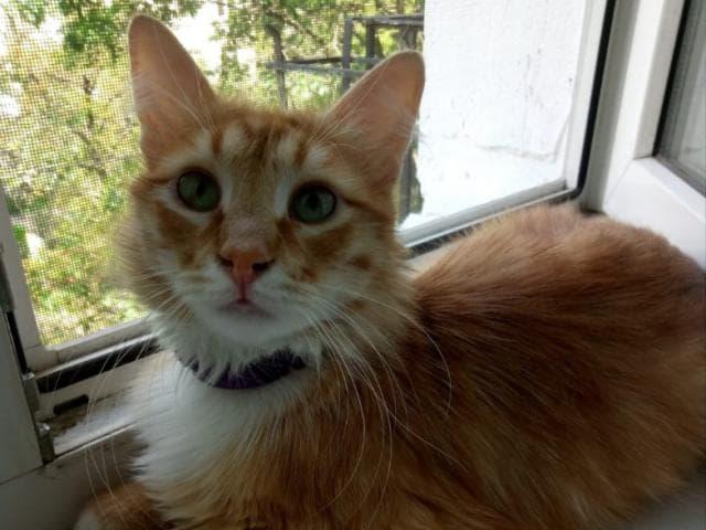 Отдам в дар: Забавный кот Луи (Луиша) в добрые руки