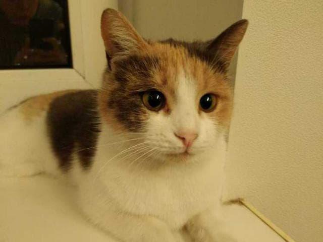 Отдам в дар: Ласковая кошка Хэппи ищет дом