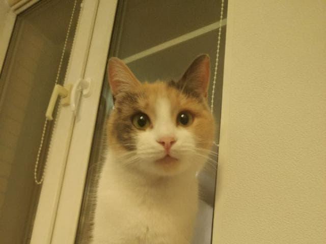 Отдам в дар: Ласковая кошка Хэппи ищет дом фото2