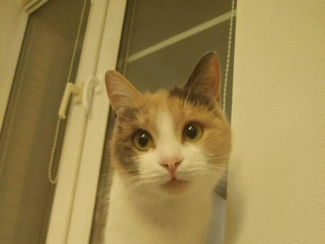Отдам в дар: Ласковая кошка Хэппи ищет дом фото3