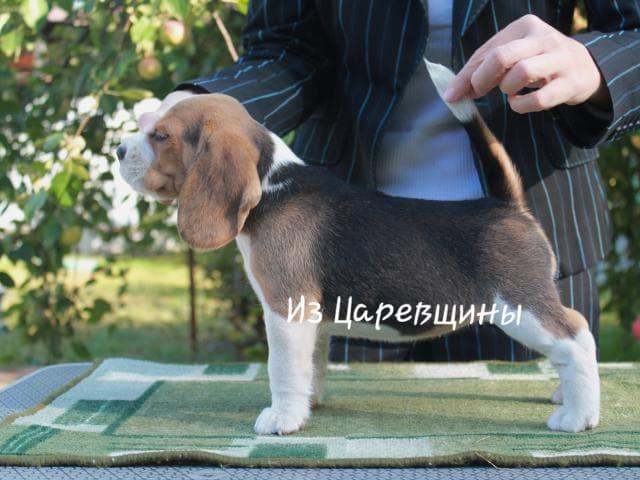 Продаю: Щенки бигля фото2
