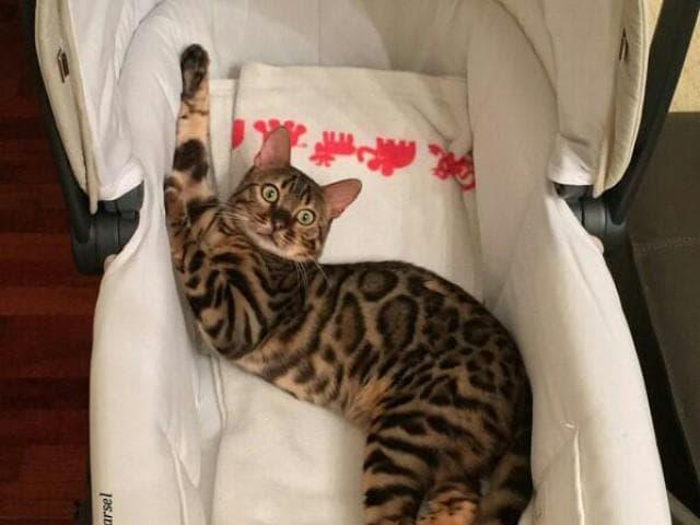 Вязка: Вязка с бенгальским котом в Москве