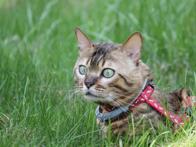 Вязка: Вязка с бенгальским котом в Москве фото2